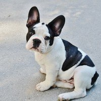 french-bulldog-277255_640-200x200
